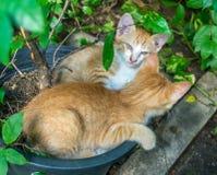 两只兄弟姐妹小猫被放置的里面花盆 免版税库存图片