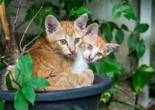 两只兄弟姐妹小猫被放置的里面花盆 库存图片