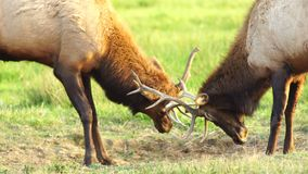 两只公公牛麋争吵的测试的大赛动物野生生物 影视素材