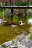 两只公野鸭鸭子和母野鸭低头漂浮在pon 免版税库存照片