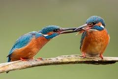 两只共同的翠鸟,通过鱼一的翠鸟属atthis到另一个 图库摄影