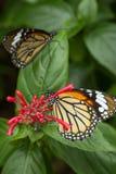 两只共同的老虎蝴蝶特写镜头  库存照片