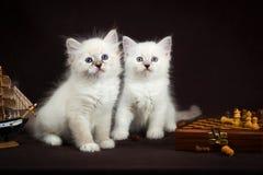 两只内娃化妆舞会小猫 免版税库存照片
