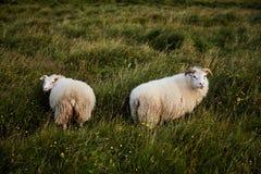 两只冰岛绵羊 库存图片