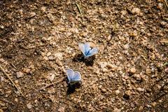 两只冰蓝色蝴蝶 库存照片