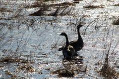 两只加拿大鹅现出轮廓反对早晨日出 免版税库存图片