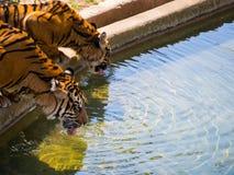 两只动物园老虎饮用水 库存照片
