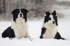 两只博德牧羊犬说谎 免版税库存照片