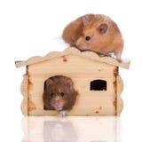 两只叙利亚仓鼠在一个木房子里 免版税库存照片