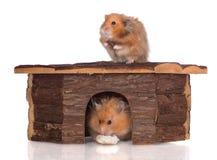 两只叙利亚仓鼠在一个木房子里 免版税图库摄影
