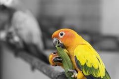 两只可爱的太阳conure鹦鹉鸟吃食物分裂口气 免版税库存照片