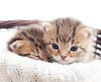 两只可爱的小猫 免版税库存照片