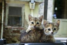 两只可爱的幼小猫 免版税库存照片