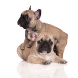 两只可爱的法国牛头犬小狗 免版税图库摄影
