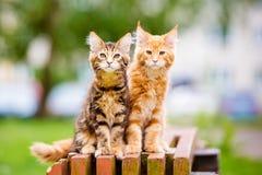 两只可爱的缅因浣熊小猫 免版税库存照片