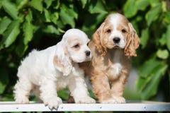 两只可爱的美国美卡犬小狗 免版税库存图片