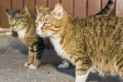 两只可笑的镶边街道猫 免版税图库摄影