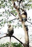 两只叶猴在树坐 免版税图库摄影