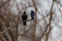 两只吃腐肉的乌鸦掠夺鸟乌鸦座corone坐分支 免版税库存照片