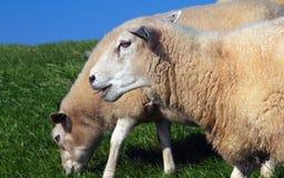 两只吃草的绵羊 免版税库存图片