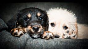 两只哀伤的小狗 免版税图库摄影