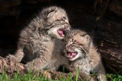 两只哭泣的美洲野猫小猫(天猫座rufus) 免版税库存图片