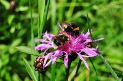 两只土蜂收集在紫色矢车菊的花蜜 宏观照片 免版税库存照片