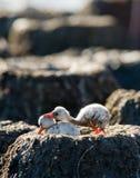 两只在巢古巴的小鸡加勒比火鸟 免版税库存图片