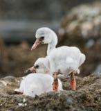 两只在巢古巴的小鸡加勒比火鸟 库存照片