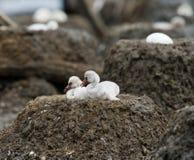 两只在巢古巴的小鸡加勒比火鸟 图库摄影