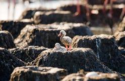 两只在巢古巴的小鸡加勒比火鸟 免版税库存照片