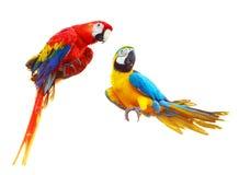 两只在白色隔绝的五颜六色的红色鹦鹉金刚鹦鹉 库存照片