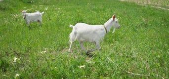 两只在绿色夏天草甸的白色山羊草村庄的 免版税库存照片