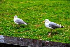 两只在草坪的逗人喜爱的海鸥步行 库存图片