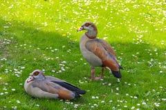 两只在草的埃及鹅Alopochen aegyptiaca在公园 免版税库存图片