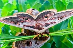 两只在草的蝴蝶大天蚕蛾,宏指令 免版税库存图片