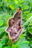 两只在草的蝴蝶大天蚕蛾,特写镜头 免版税库存照片