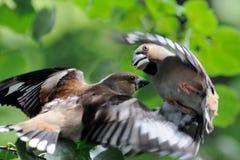 两只在飞行中女性蜡嘴鸟争斗 库存照片