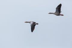 两只在飞行中灰色鹅分析服务公司分析服务公司 免版税库存照片