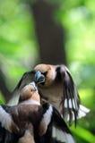 两只在飞行中男性蜡嘴鸟争斗 免版税库存照片