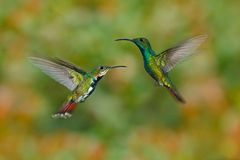 两只在飞行的蜂鸟绿色breasted芒果夫妇有浅绿色和橙色开花的背景,兰乔Naturalista, Co 库存照片