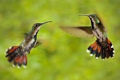 两只在飞行的蜂鸟绿色breasted芒果夫妇有浅绿色和橙色开花的背景,在Th的野生热带海鸟 库存照片