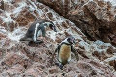两只在Ica秘鲁的洪堡企鹅秘鲁海岸 库存图片