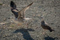 两只在Pebble海滩的年轻海鸥鸥属玛丽恩 库存图片