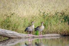 两只埃及鹅坐分支 免版税库存照片