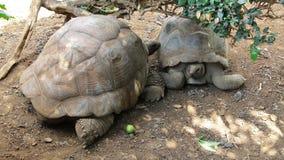 两只大乌龟 免版税库存照片