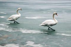 两只大美丽的白色天鹅在冰川覆盖的湖走 免版税图库摄影