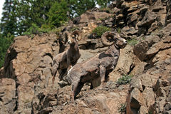 两只大角野绵羊在黄石国家公园在怀俄明 免版税库存照片