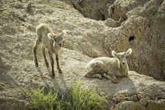 两只大角野绵羊羊羔 图库摄影