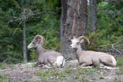 两只大角野绵羊 免版税库存图片